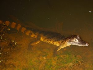 Caiman Tambopata Amazon