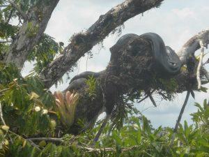 Anaconda maatreizen Amazone Ecuador