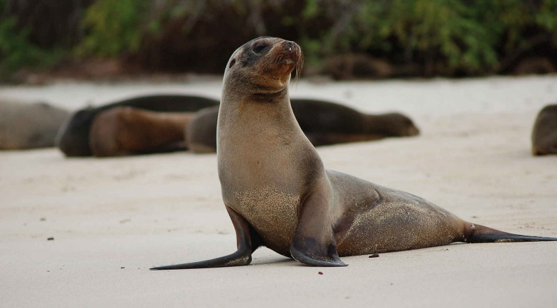 Sea lion in Galapagos Tour