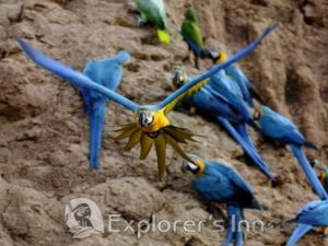 Explorer's Inn Amazon Macaws