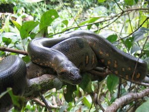 Boa Amazon Ecuador