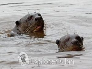 Explorer's Inn Amazon Lodge otters