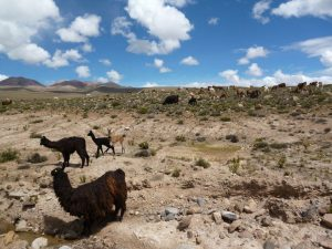Lama's in Colca Canyon tour