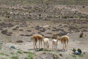 Vicuñas in de Colca Canyon