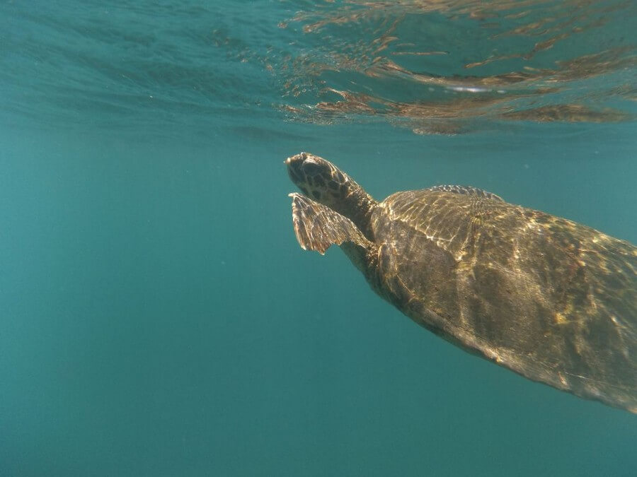 Swimming Galapagos turtle