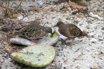 Darwin vinken Galapagos Ecuador