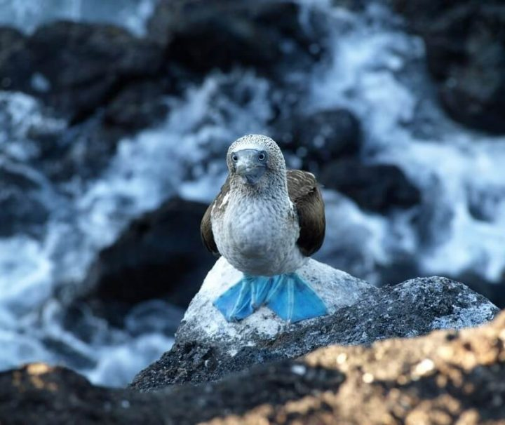 Blue footed Booby Galapagos Ecuador