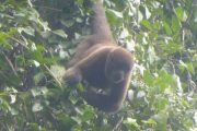 Wooler Monkey in the Amazon