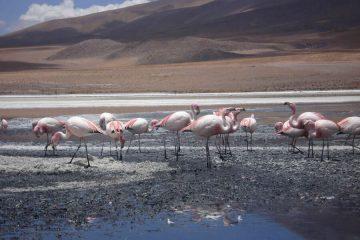 Flamingos Salar tour Bolivia