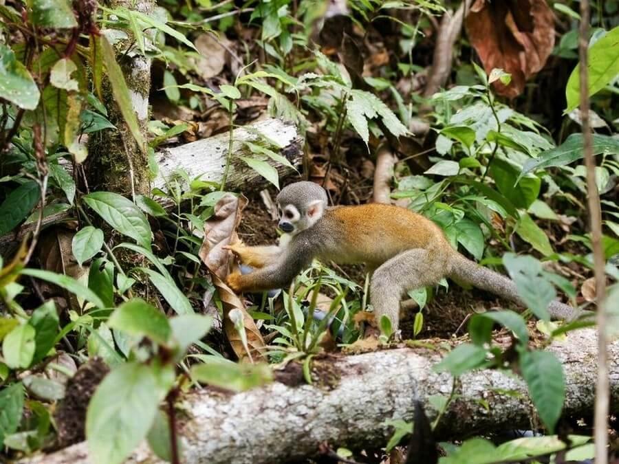 squirrel-monkey-amazon-rainforest-tour
