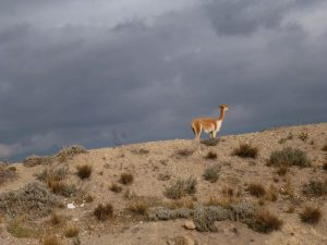 Vicuña on the Chimborazo