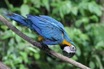 Cuyabeno Amazon macaw Ecuador