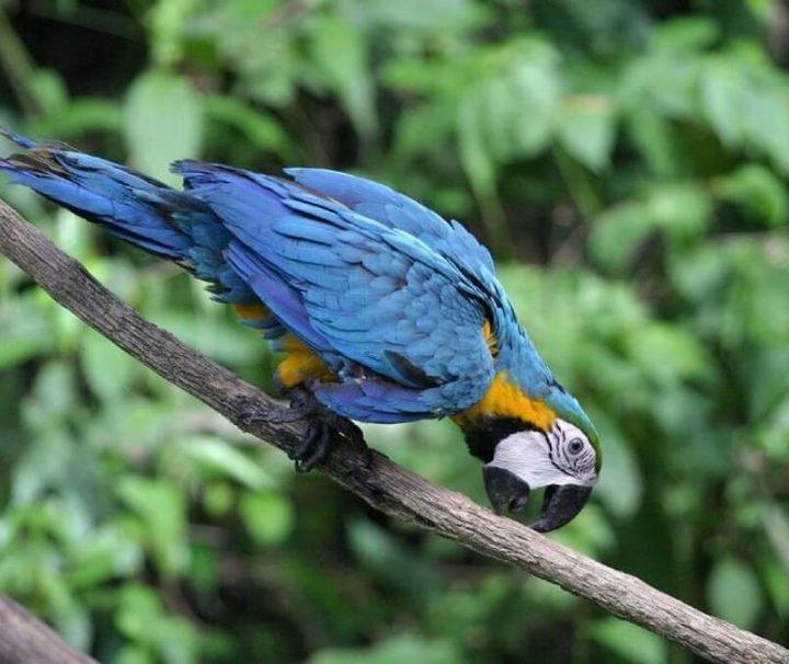 Cuyabeno Amazone macaw Ecuador