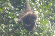 Wolaap in de Amazone van Cuyabeno