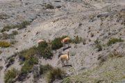 Vicuñas on Polylepis Trek