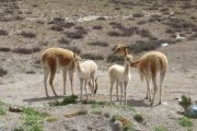 Baby vicuñas in de Colca Canyon