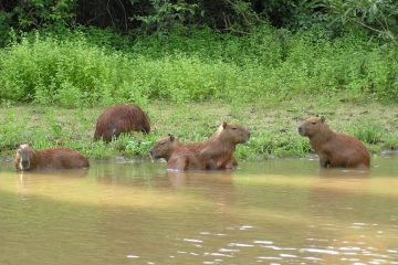 Capybaras Amazon tours