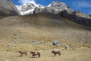 Horses on the Salkantay Trek