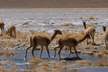 Vicuñas in Salar de Uyuni tour