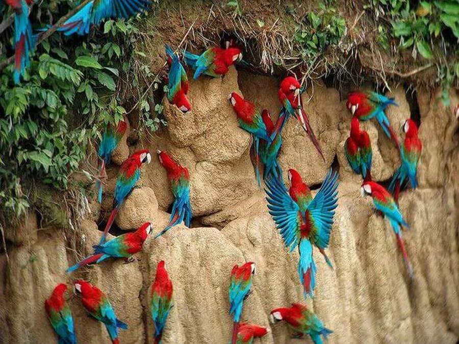 Clay Lick and Macaws