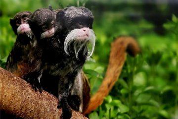 Tamarin Monkeys Amazon