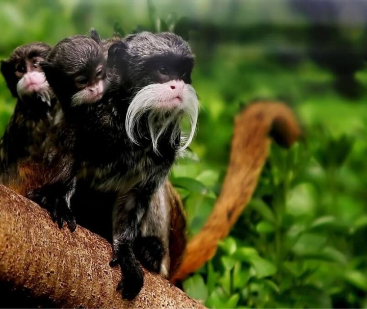 Tamarin Monkeys Amazon