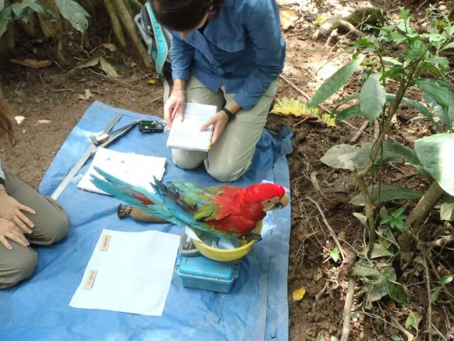 Macaw at Tambopata Research Center