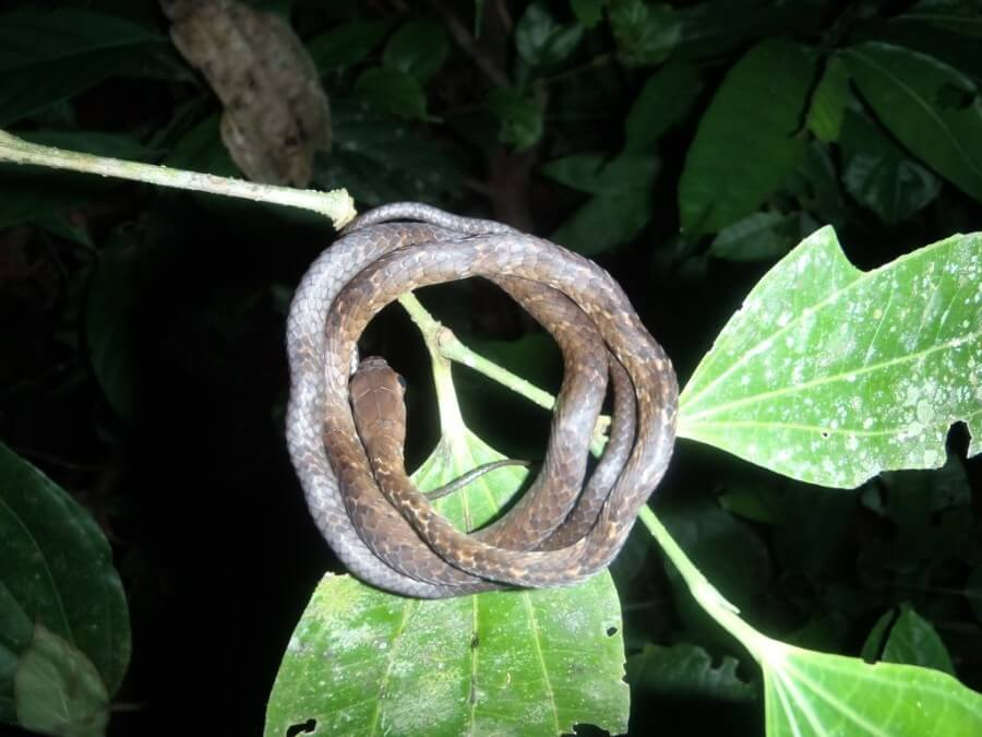 baby snake in Tambopata