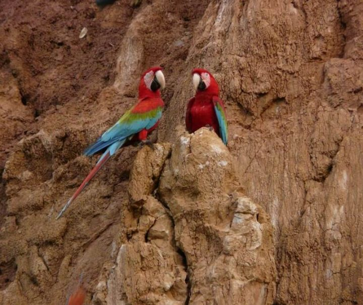 Macaw Amazon clay lick