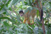 Doodshoofd aapje in Amazone