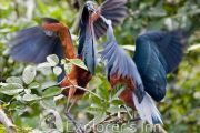Blue herons. Explorer's inn