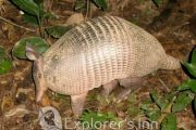 Armadillo at Explorer's Inn