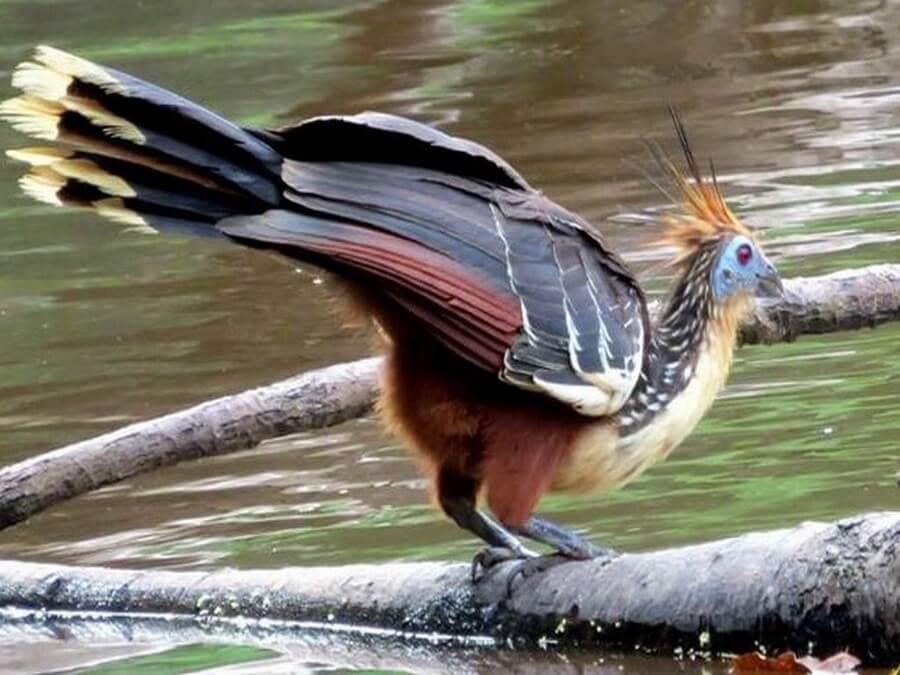 Hoatzin Amazone Peru