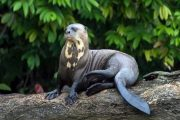 Otter in the Amazon