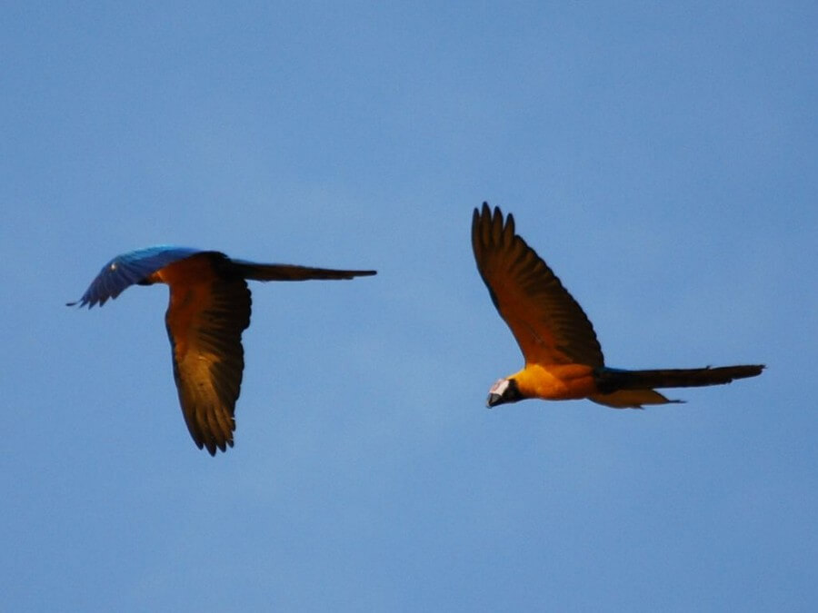 Flying macaws