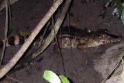 Small caiman