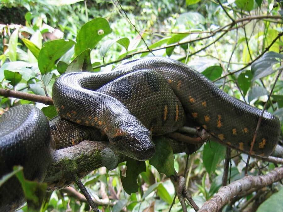 giant-boa-snake-amazon-tours-manu-peru
