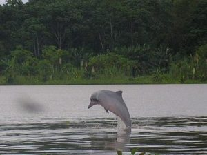 Fresh water dolphin