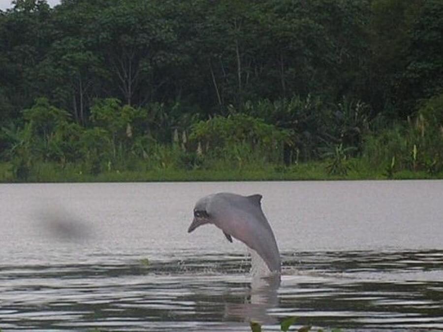 Fresh water dolphin