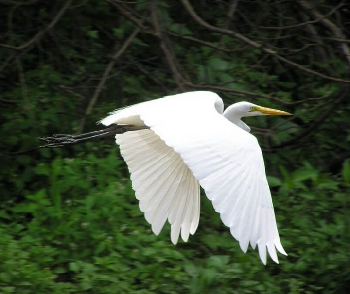 Flying white Amazon heron