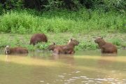 Capybaras in river