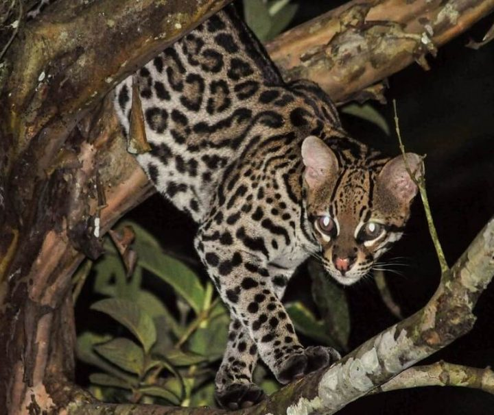 Ocelot at night in Amazon