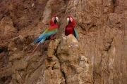 Macaws at clay lick