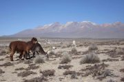 Alpacas and Lamas