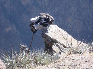 Cruz del Condor Peru