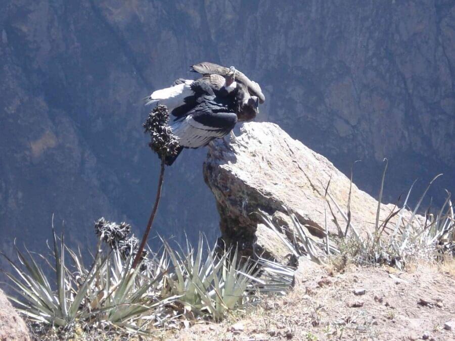 Young and adult condor at Cruz del Condor