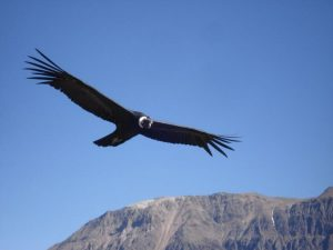 Condor at Cruz del Condor viewpoint