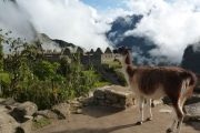 Lama view of Machu Picchu