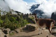 Lama view of Machu Picchu