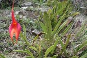 Inca Princes flower